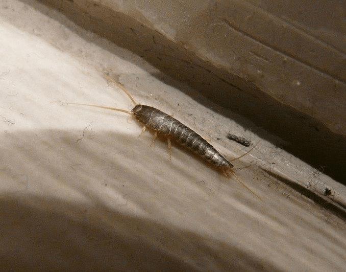 Få bugt med sølvfisk og edderkopper i huset